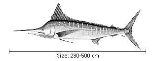 Billfishes