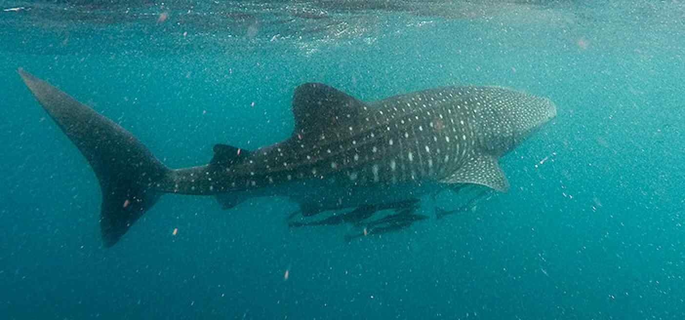 Fish Swimming coast of Somalia