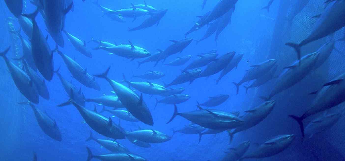 Protecting Yellow Fin Tuna